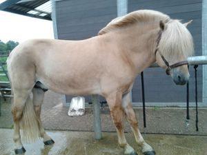 Hoefbevangenheid: stand van het paard